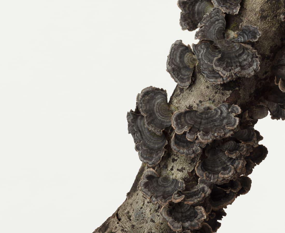 Takashi Tomo-oka, Turkey Tail Mushroom, Kawaratake, 2017