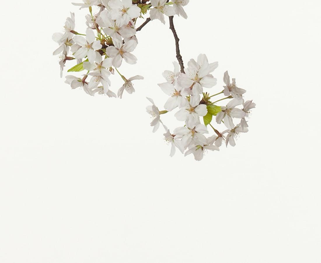 Takashi Tomo-oka, Cherry Blossom, 2011