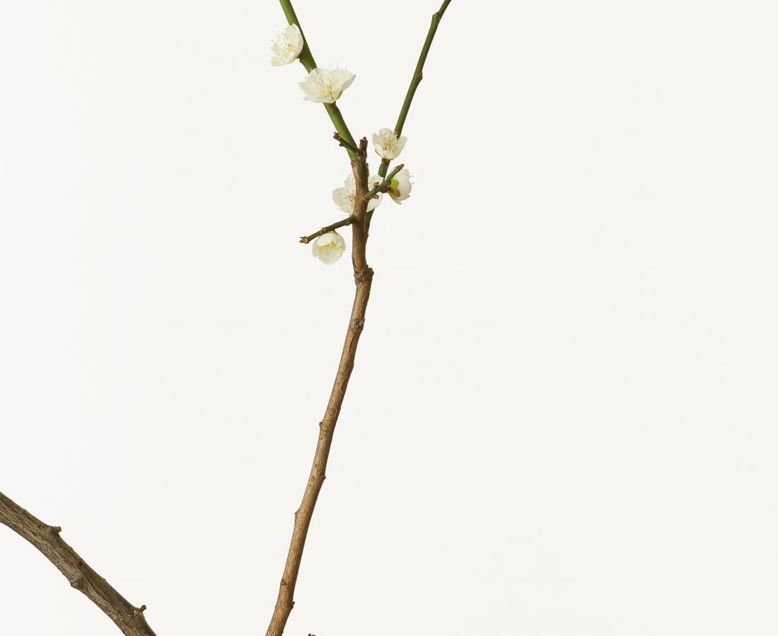 Takashi Tomo-oka, White Japanese Apricot Blossom , 2010
