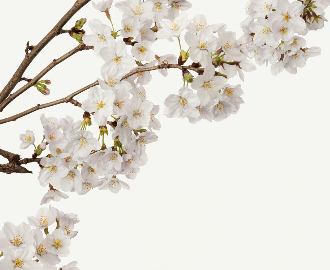 Takashi Tomo-oka, Cherry Blossom 6, Sakura, 2019