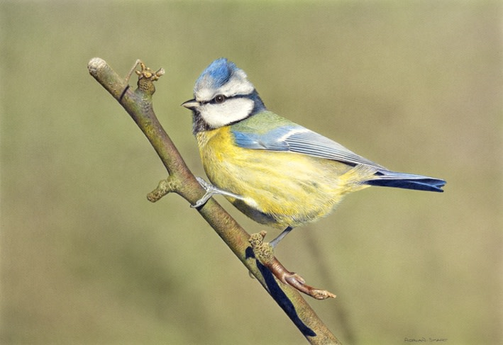 "Adrian Smart ""Bluetit"" Watercolour on board 25.5 x 37 cm"