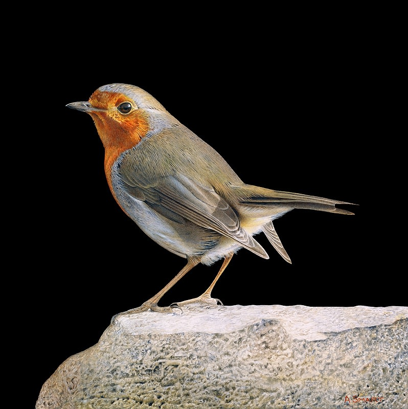 "Adrian Smart ""Robin on Rock"" Watercolour on board 20 x 20 xm"