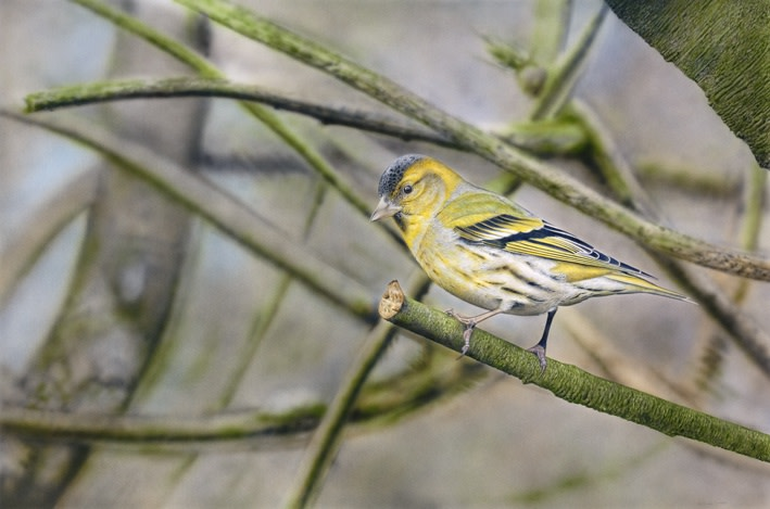 "Adrian Smart ""Siskin"" Watercolour on board 58 x 87 cm"