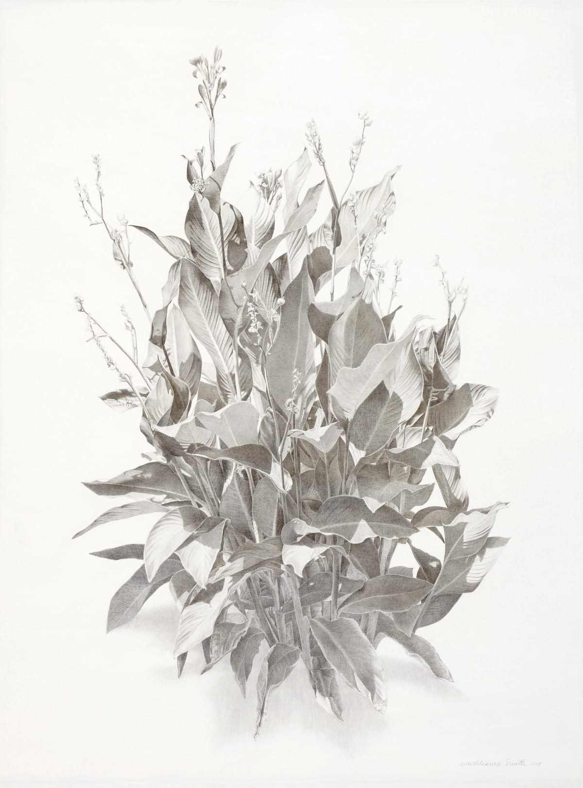 "Marjorie Williams-Smith Cannas Gloria Silverpoint 30"" x 22"""