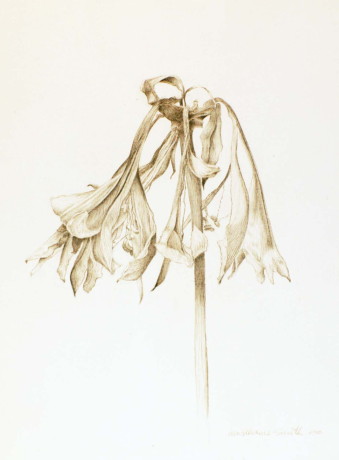 Marjorie Williams-Smith Amaryllis, 2010 Silverpoint on Gesso 9 3/4 x 9