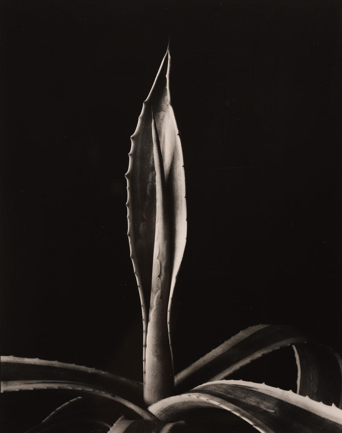 Imogen Cunningham, Agave Americanus, 1920