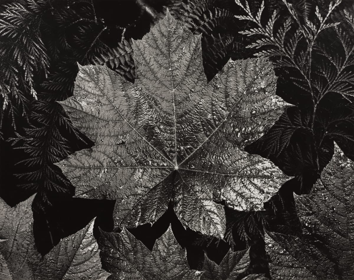 Ansel Adams, Leaves, Glacier NP, c. 1942