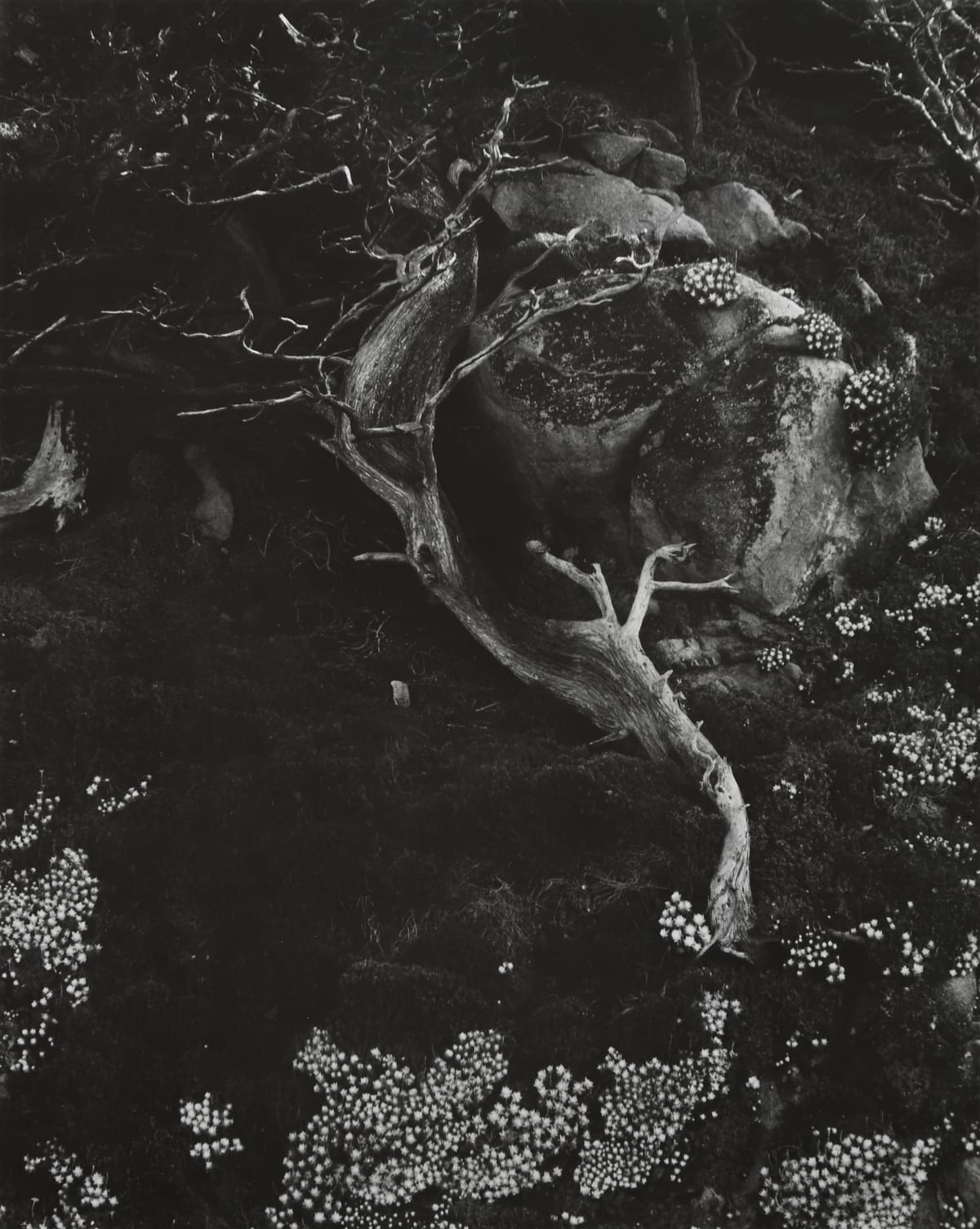 Edward Weston, Cypress, Rock, Stone Crop, 1930