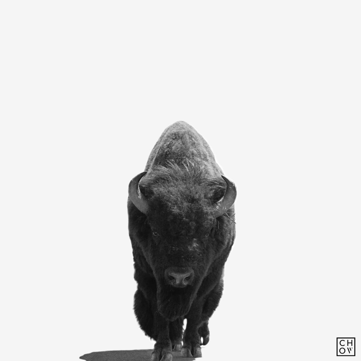 Austin Chow, American Bison // Yellowstone, 2017