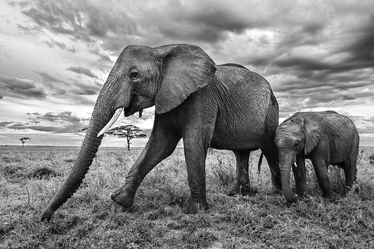 Luciano Candisani, Elefantes, Tanzânia, 2015