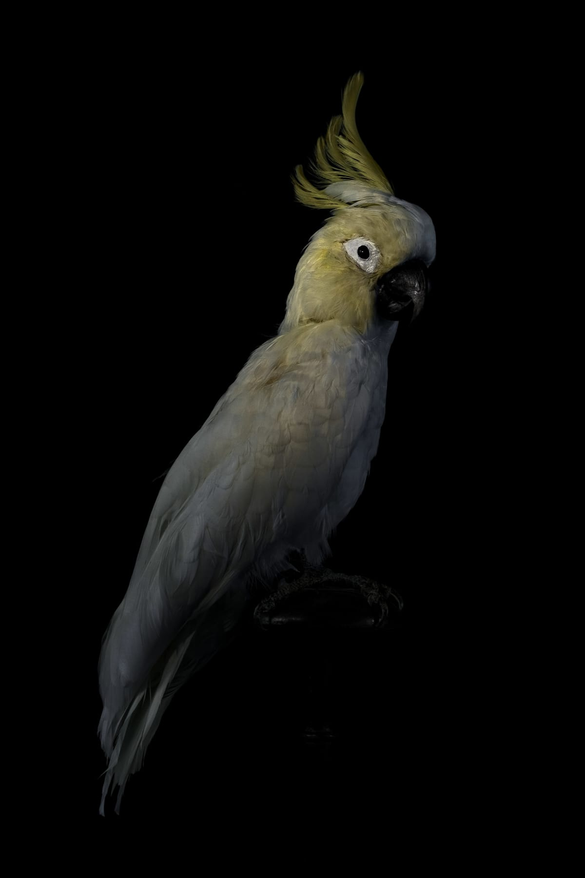 Lucas Lenci, Oiseau 35, 2015 - 2019