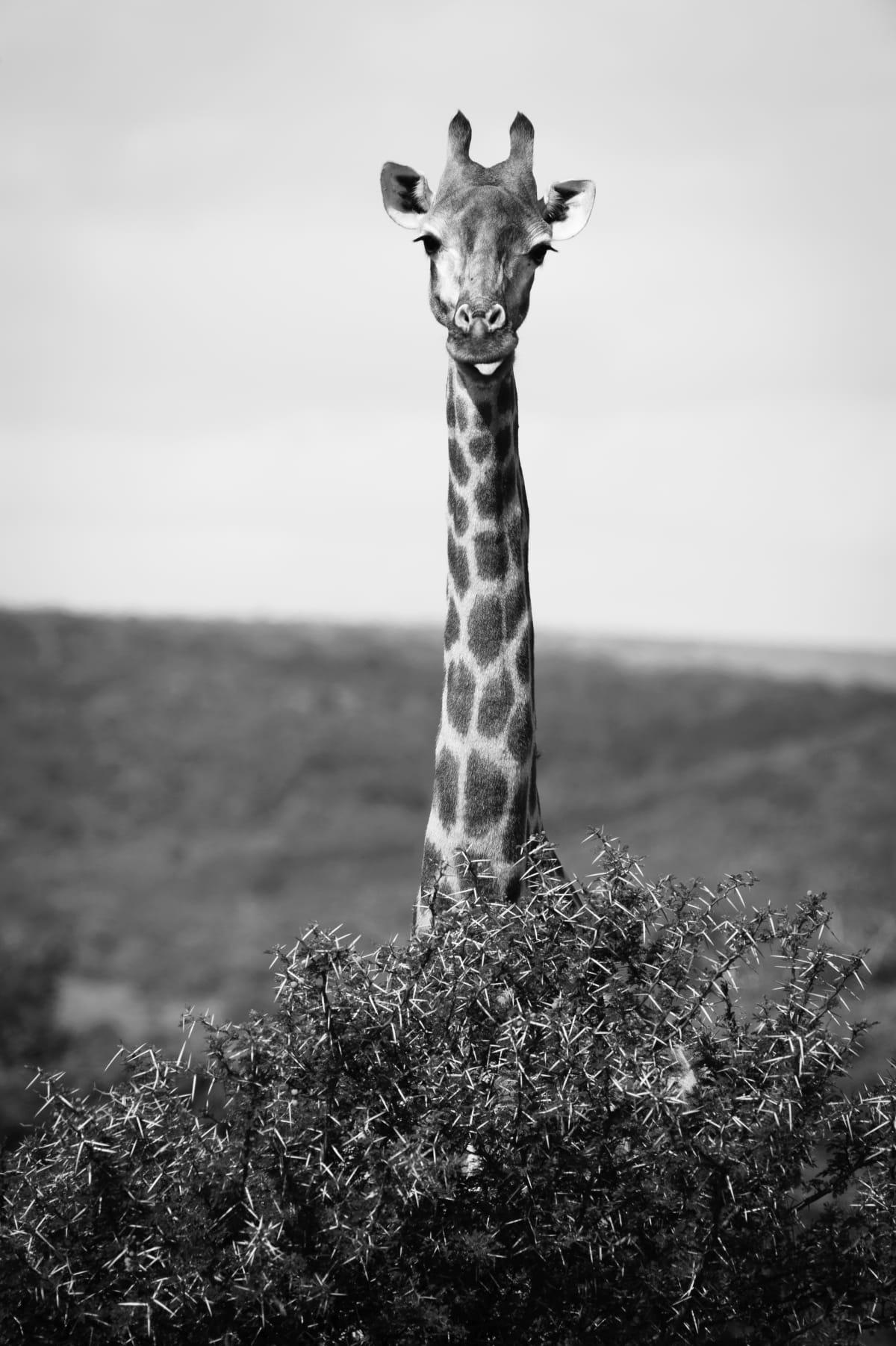Luciano Candisani, Girafa, África do Sul, 2010