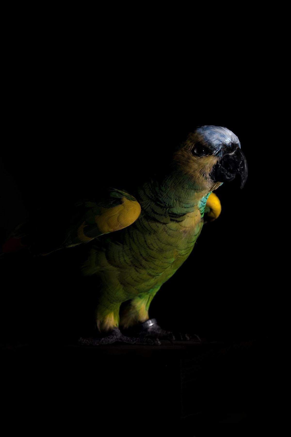 Lucas Lenci, Oiseau 66, 2015 - 2019