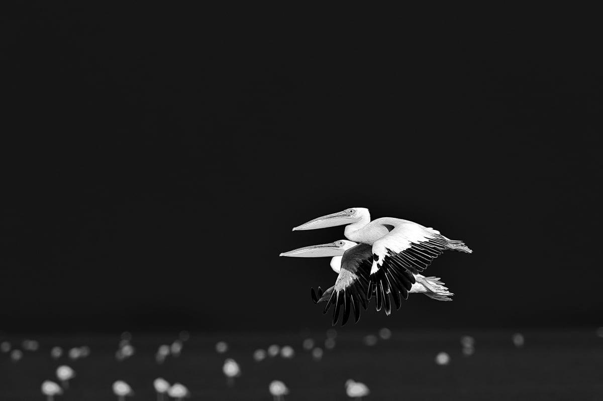 Luciano Candisani, Pelicanos, Tanzânia, 2015