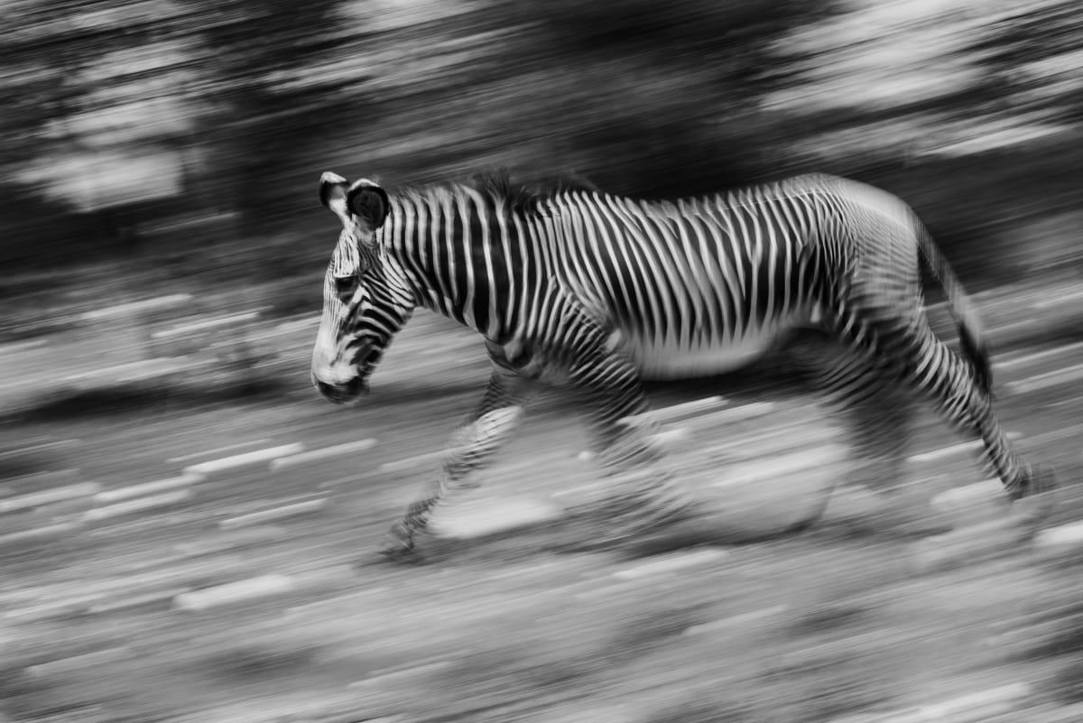 Luciano Candisani, Zebra, Quênia, 2019