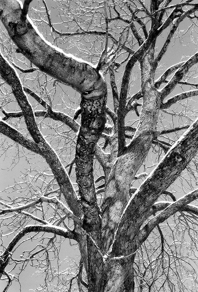 "Darris Lee Harris Tree Exhibiting Pride Photography 19 x 27.75"" unframed 25.5 x 34.75"" framed"