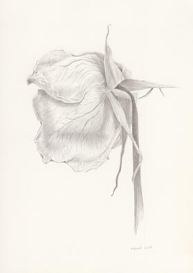 Marjorie Williams-Smith Rose with Veins, 2013 Silverpoint 5 5/8 x 3 15/16