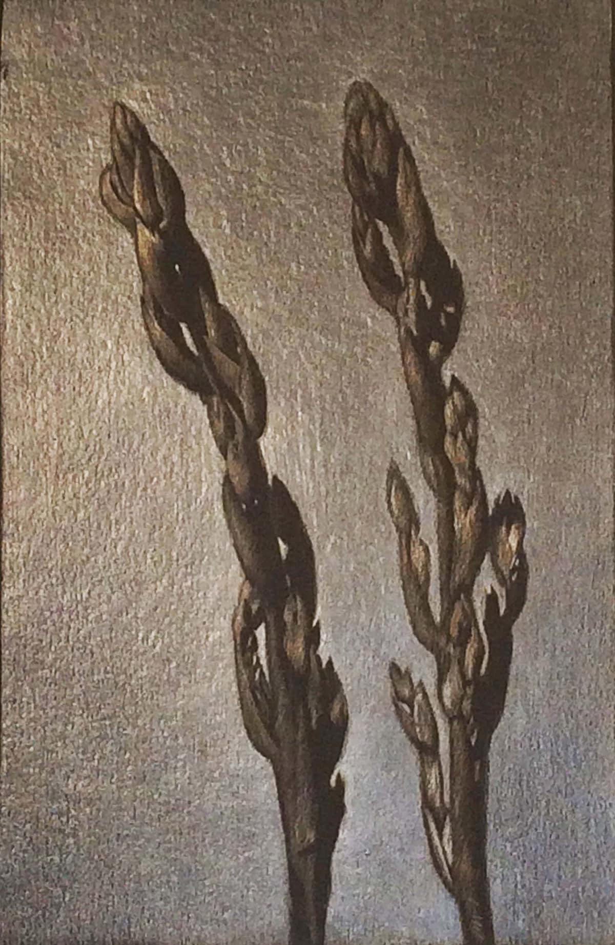 Marjorie Williams-Smith Asparagus Plants, 2016 Aluminumpoint, Silverpoint, and Copperpoint 5 7/8 x 3 7/8