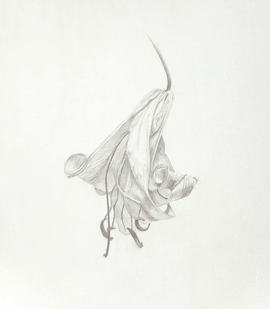 Marjorie Williams-Smith Study of Lily, 2010 Silverpoint 5 x 4