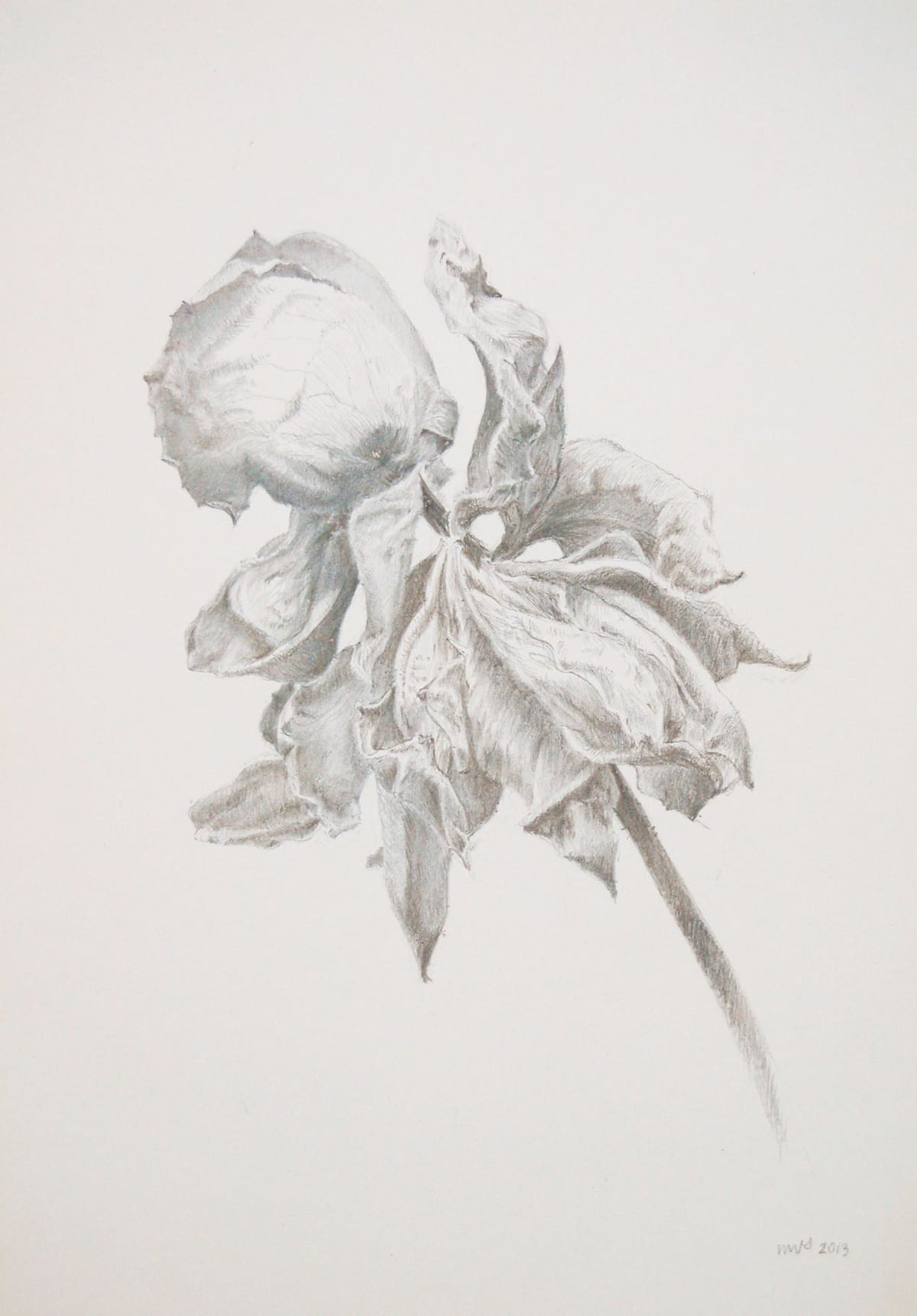 Marjorie Williams-Smith Rose Motion Right, 2013 Silverpoint 5 3/8 x 3 15/16