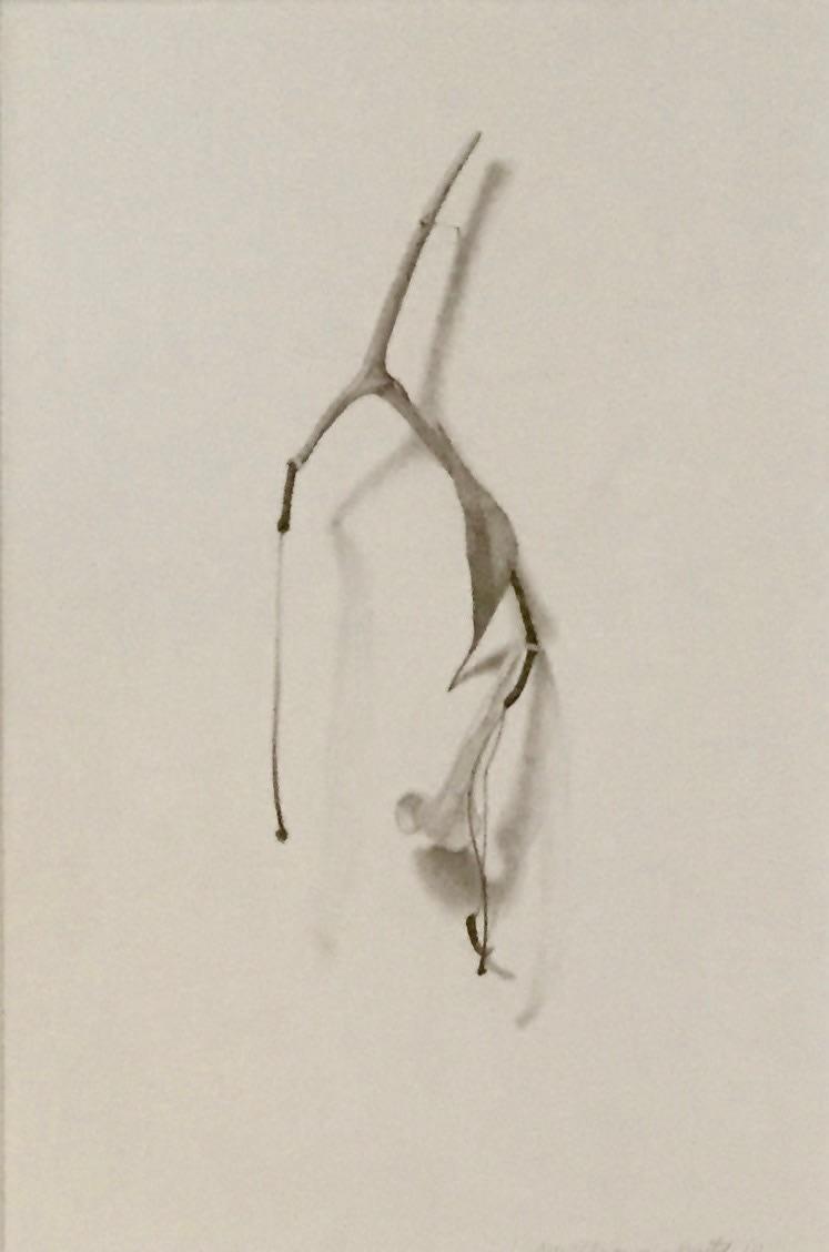 Marjorie Williams-Smith Lily Study, 2010.0 12 x 10