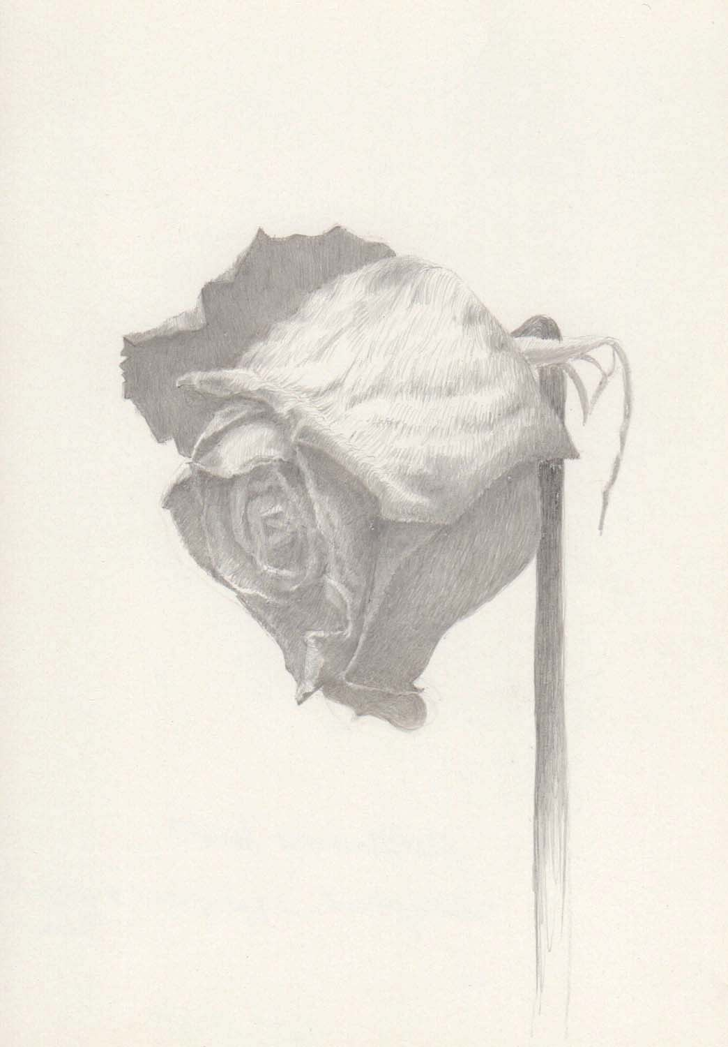 "Marjorie Williams-Smith Rose Study Facing Left , 2013 Silverpoint 5 5/8"" x 3 15/16"""