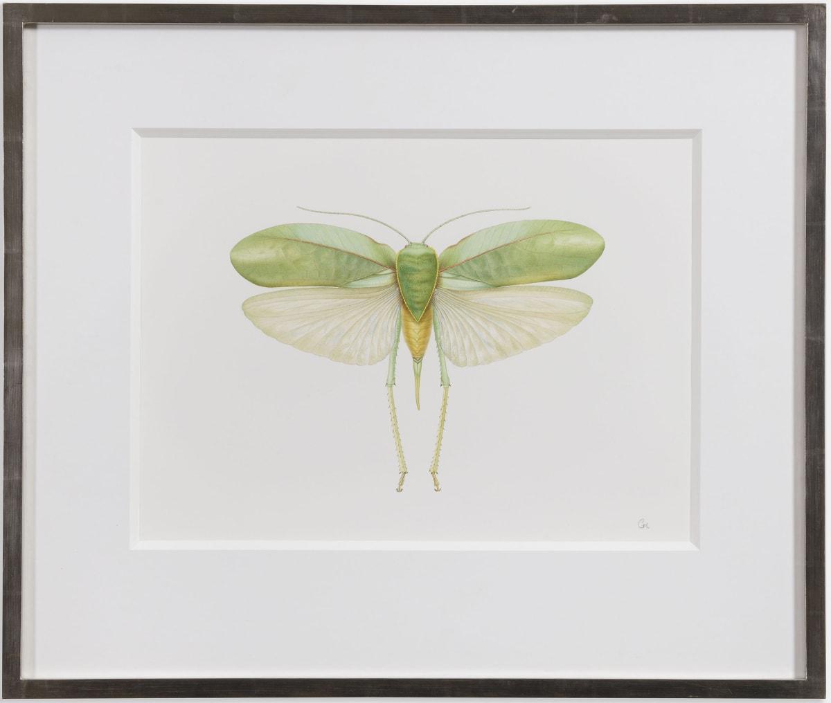 Long Horned Grasshopper - Phyllopora grandis