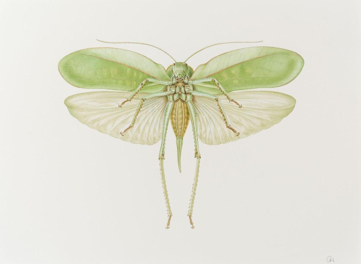 Long Horned Grasshopper - Phyllopora grandis (underside)