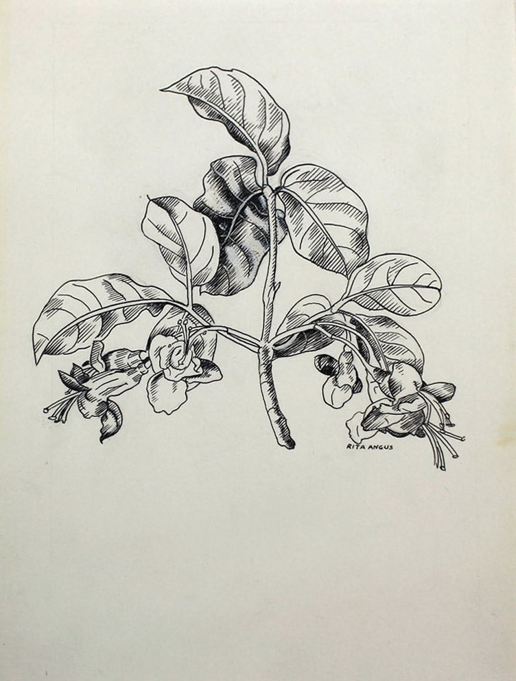 Rita Angus Untitled [Botanical Study], 1950s Ink on paper 6.9 x 5.5 in 17.5 x 13.9 cm