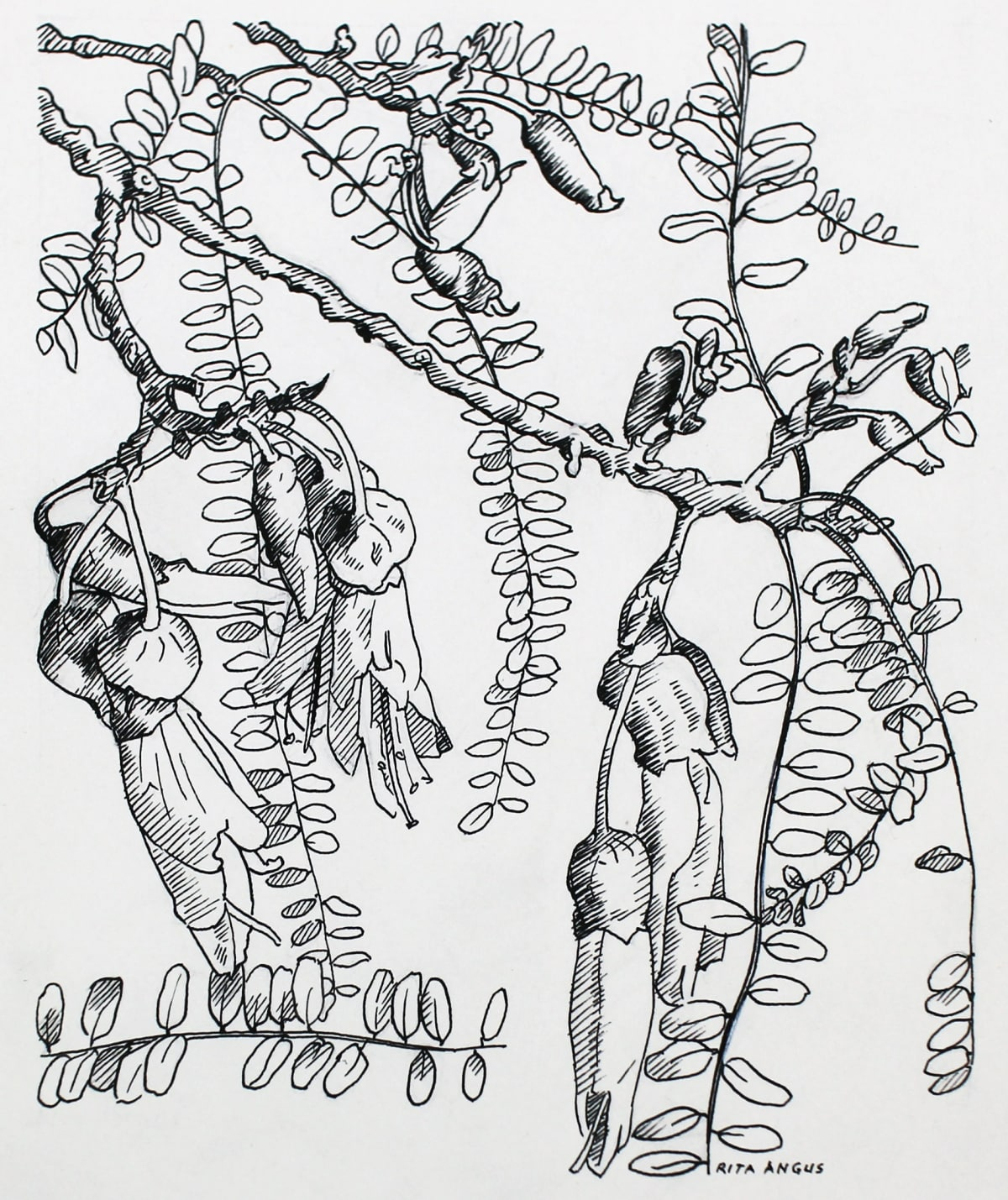 Rita Angus Untitled [Kowhai], 1950s Ink on paper 6.7 x 5.7 in 17 x 14.5 cm