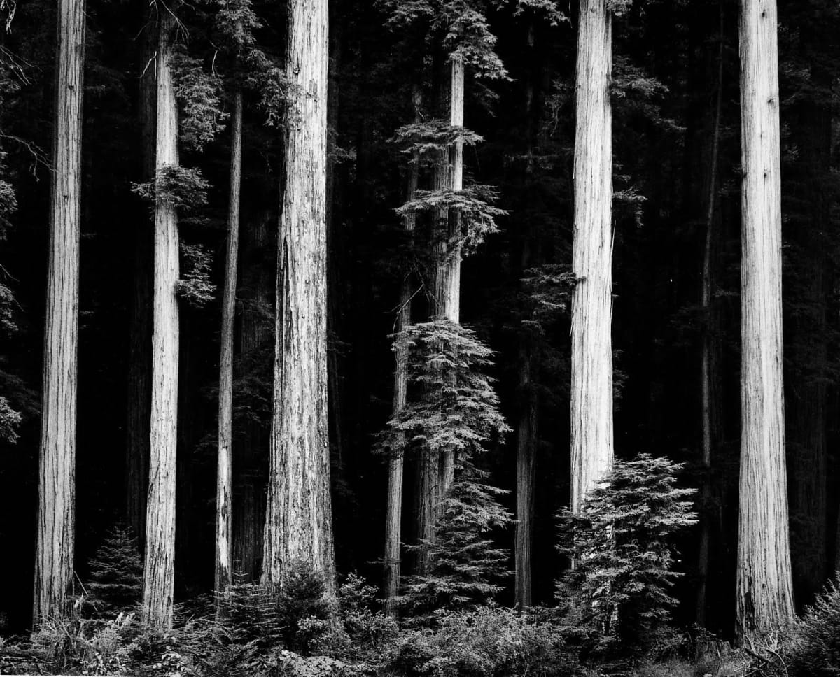 "Ansel Adams Redwoods, Bull Creek Flat, Northern California, 1960 (Printed 1970's) Gelatin Silver Print Image - 16""x20, Mounted - 22""x28"", Matted - 24""x30"" © Ansel Adams. Courtesy of the Ansel Adams Publishing Trust"