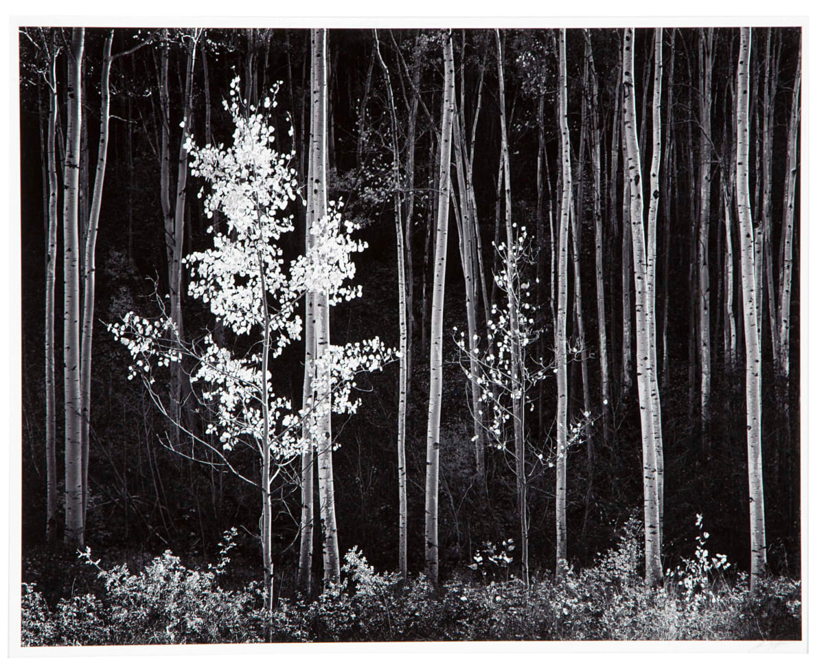 Ansel Adams Aspens, Northern New Mexico, 1958 (Printed 1976) Gelatin Silver Print Image Dimensions: 20 x 24 inches Matted Dimensions: 28 x 32 inches © Ansel Adams. Courtesy of the Ansel Adams Publishing Trust Edition 63 of 115