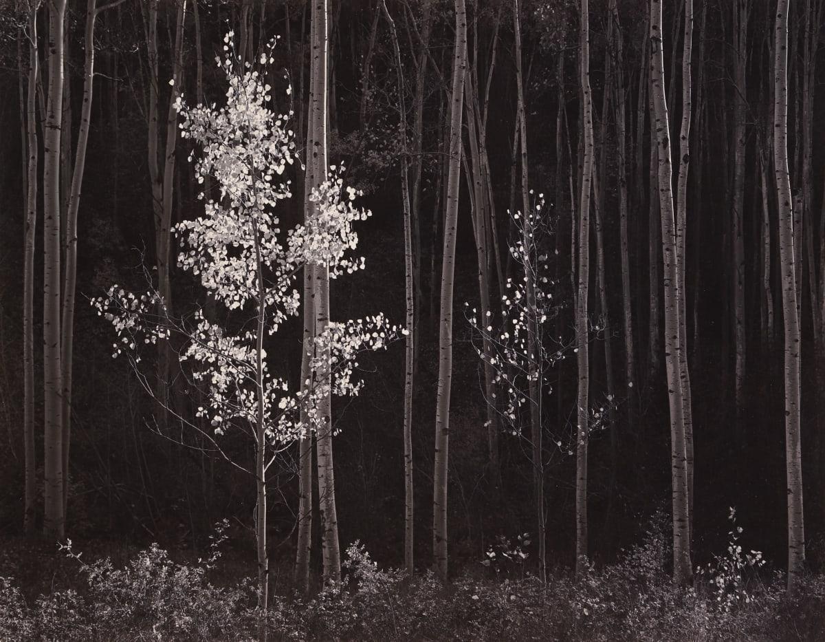 Ansel Adams, Aspens, Northern NM, 1958