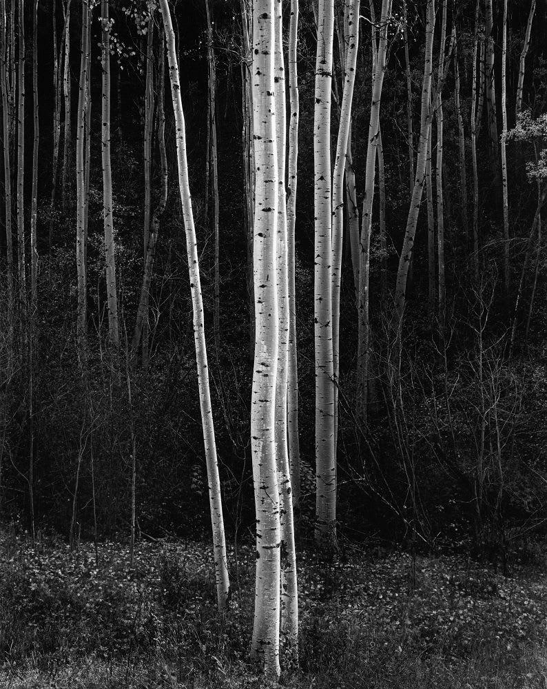 Ansel Adams, Vertical Aspens, Northern NM, 1958