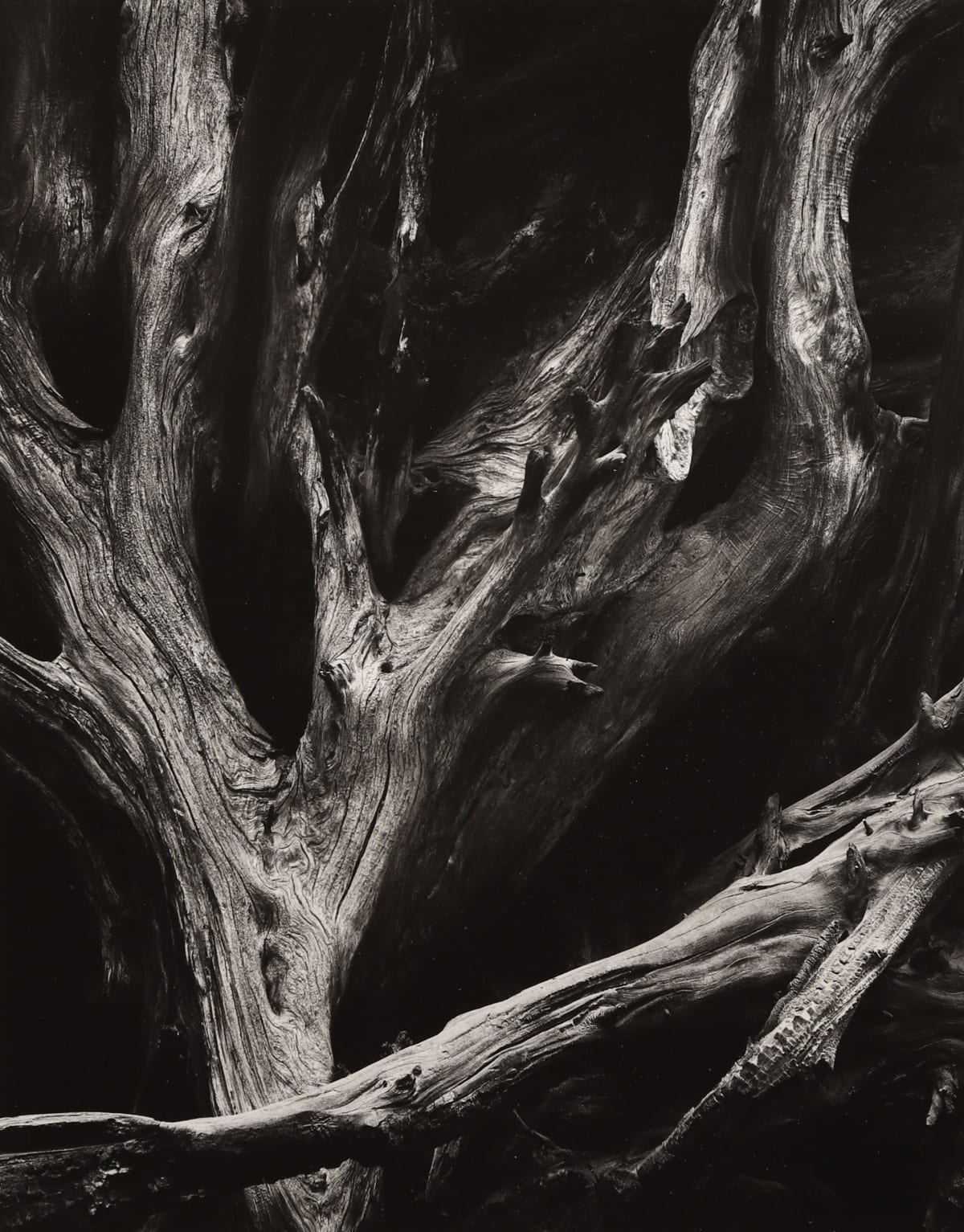 Ansel Adams, Sequoia Roots, 1950