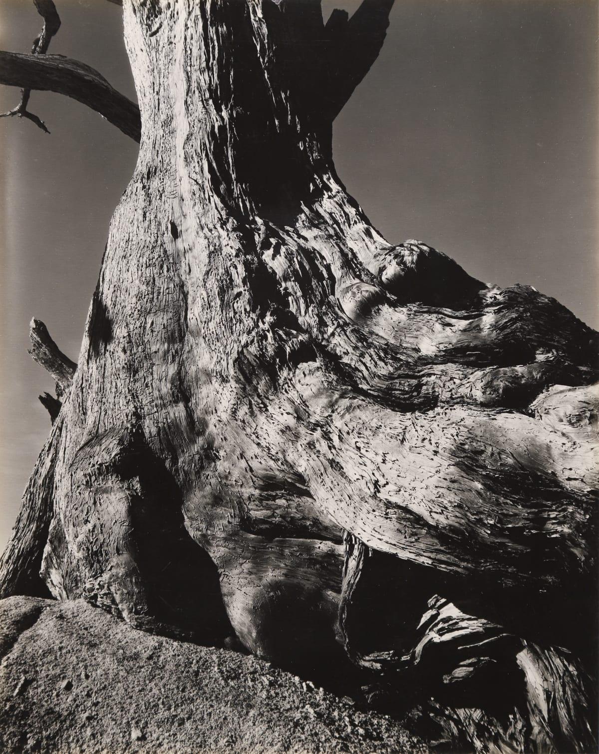 Edward Weston, Monterey Cypress, Pebble Beach, 1932