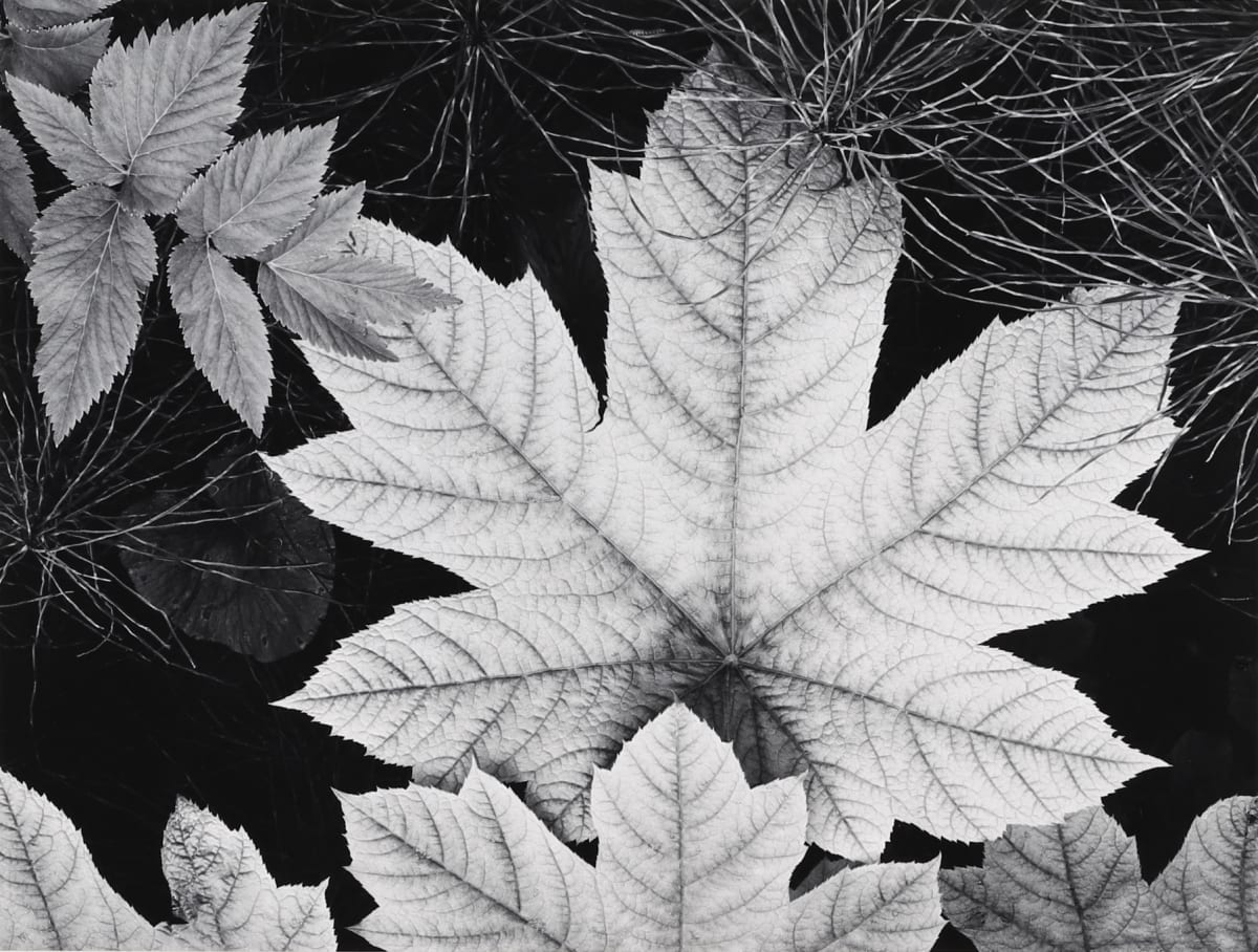 Ansel Adams, Leaf, Glacier Bay, 1963