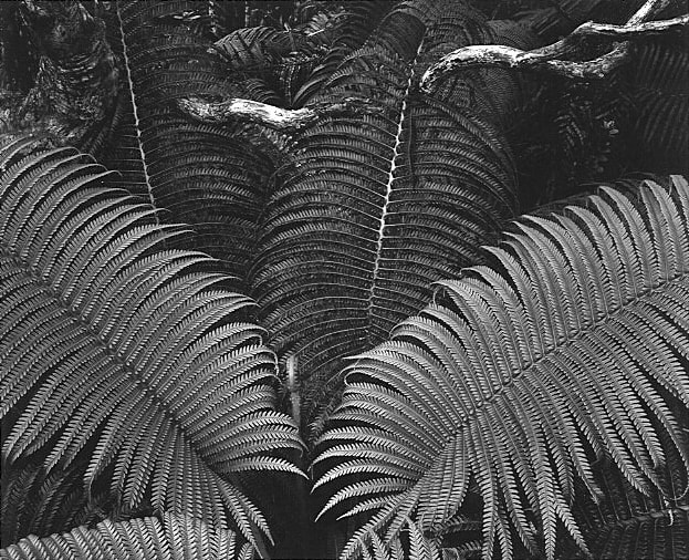 Ansel Adams, Ferns, Volcanos National Park, Hawaii, 1946