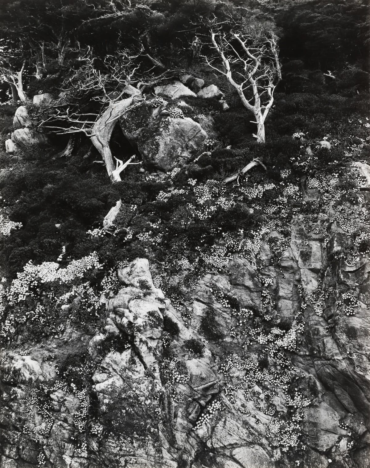 Edward Weston, Point Lobos, 1940