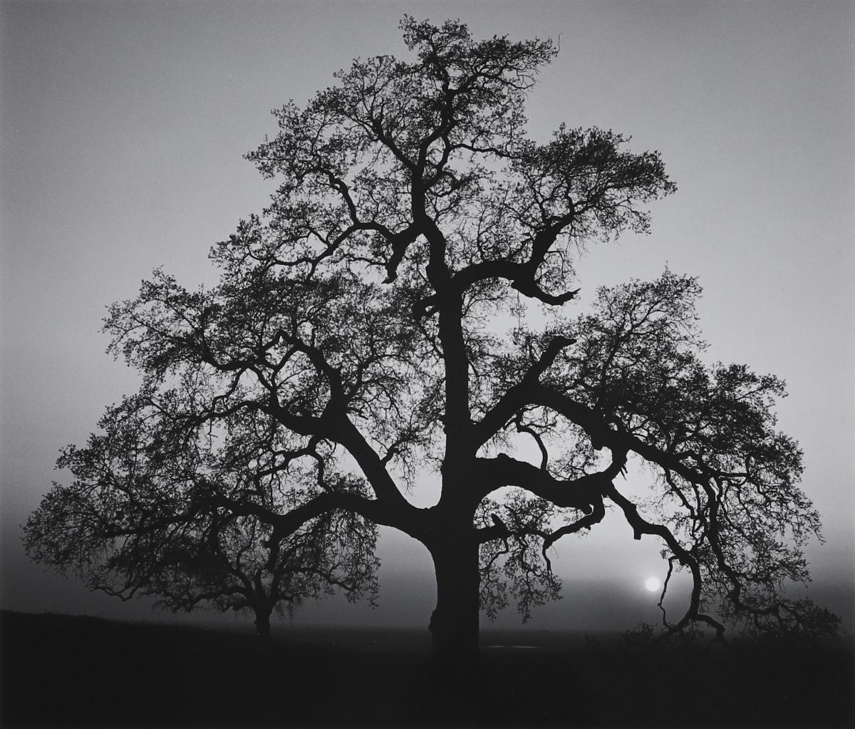 Ansel Adams, Oak Tree, Sunset City, 1962