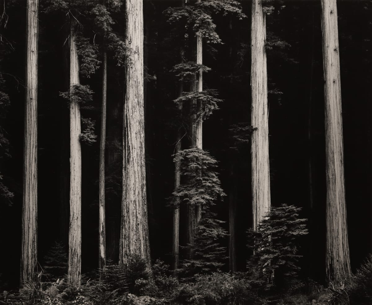 Ansel Adams, Northern California Coast Redwoods, 1960