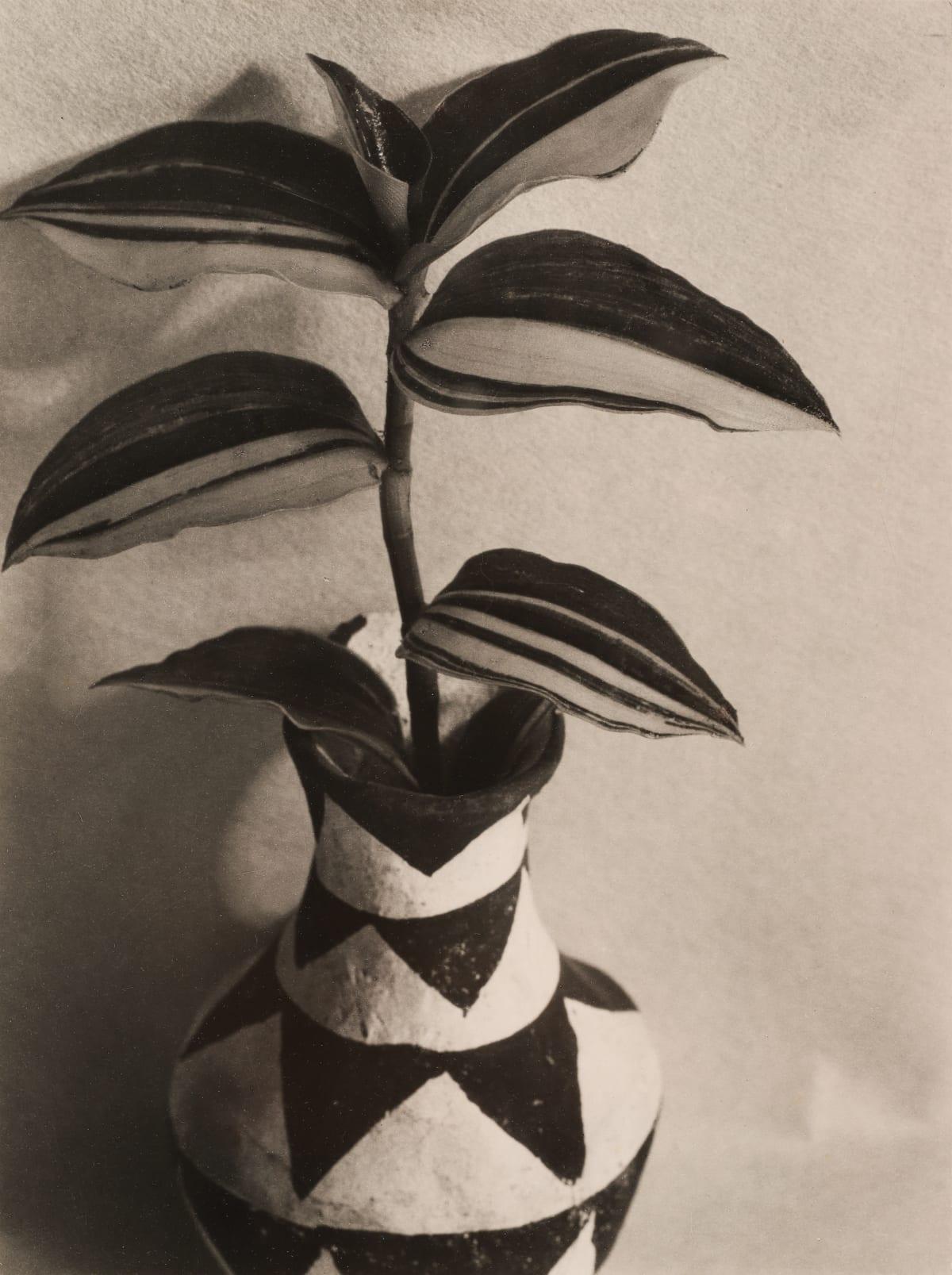 Imogen Cunningham, Wandering Jew, 1920