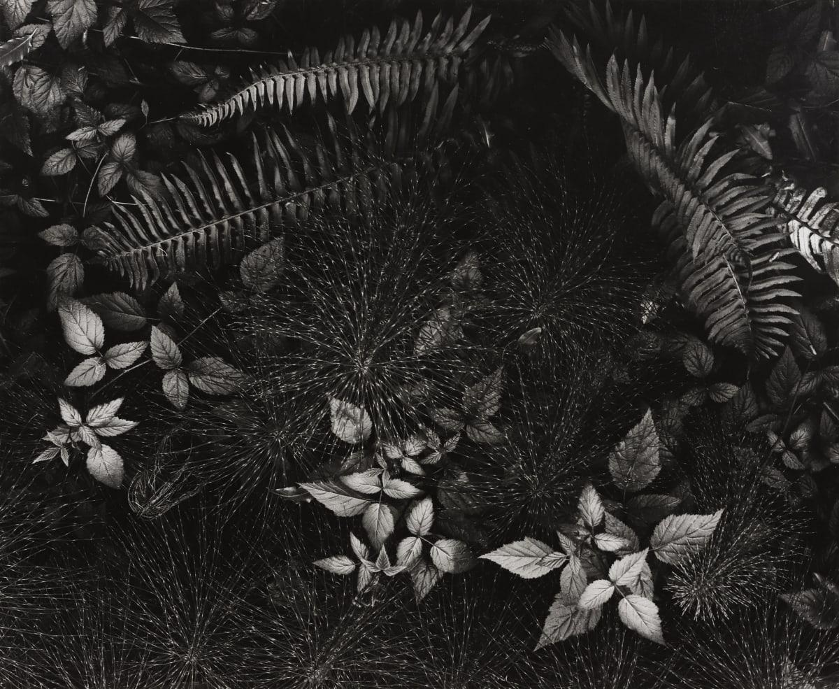 Ansel Adams, Leaves, Mills College, 1931