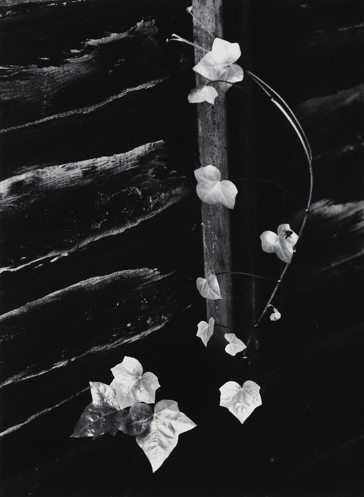 Minor White, Ivy, Portland, 1964