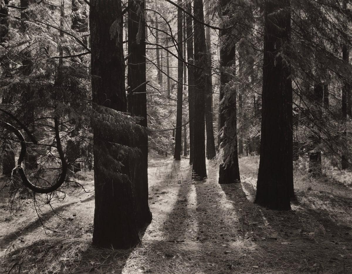 Ansel Adams, Forest Floor, Yosemite, ca. 1950