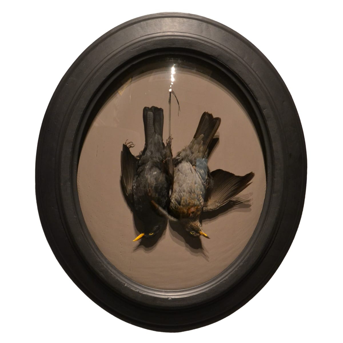 Fiona Dean Till Death Do Us Part, 2019 male and female blackbirds in restored antique frame with domed glass 30 x 26 x 4 cm