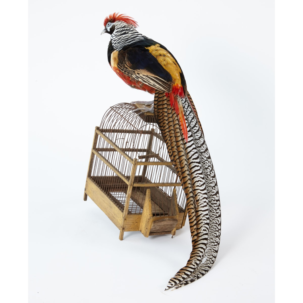 Fiona Dean His Finest Hour, 2019 Lady Amherst cock pheasant with antique bird cage in ebonised oak cabinet 90 x 60 x 79 cm