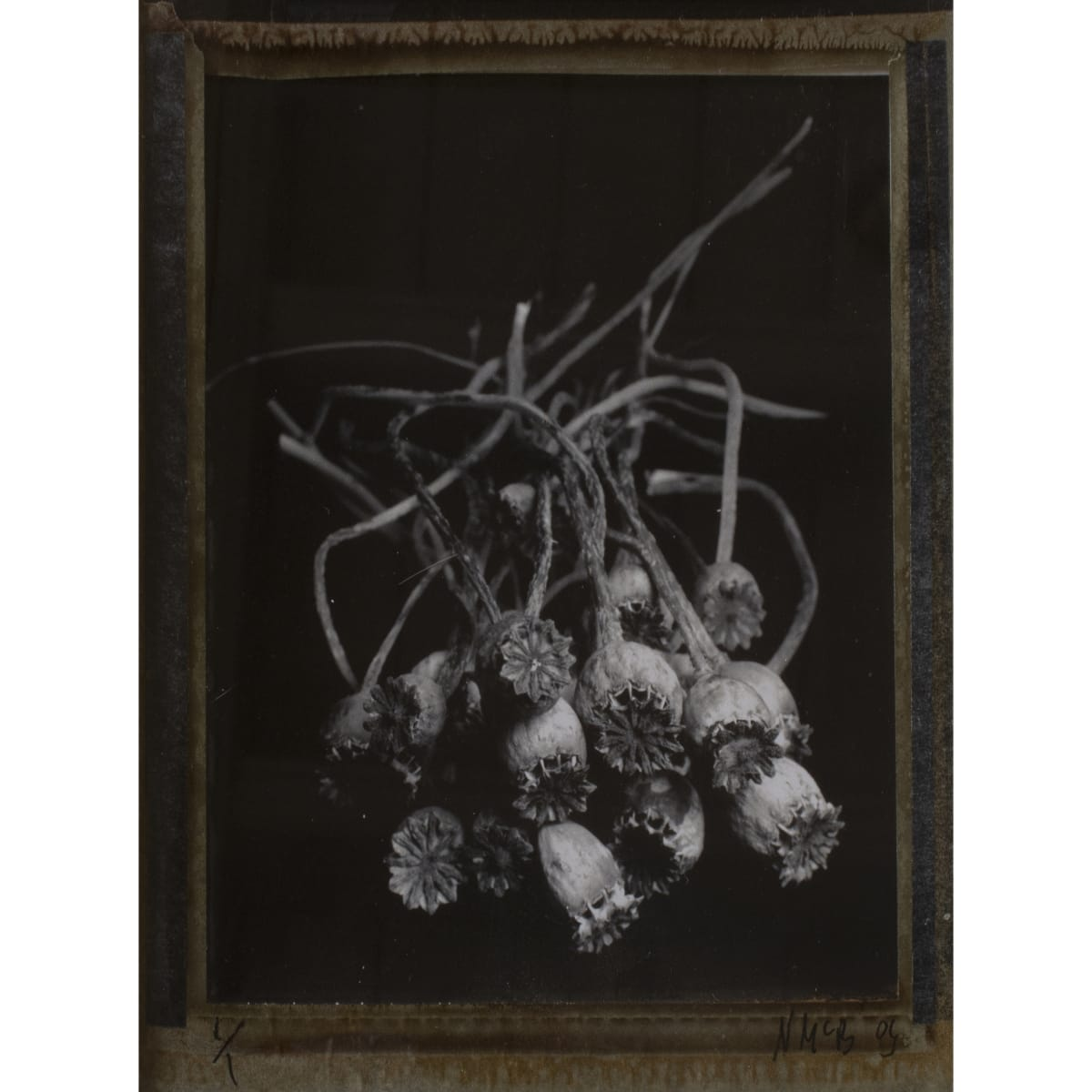 Norman McBeath Type 55 Polaroid: Poppy Heads, 2009 signed and dated type 55 polaroid 13 x 10.2 cm