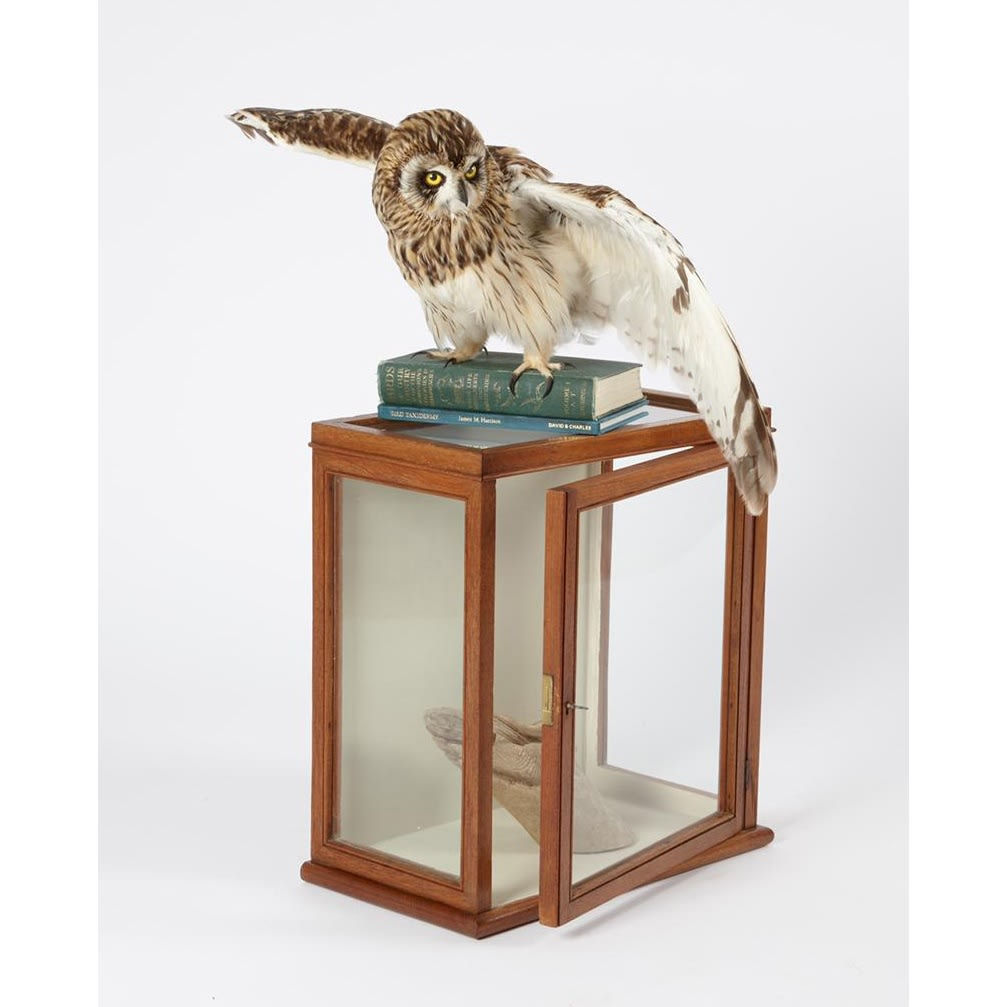 Fiona Dean Departed, 2019 short-eared owl with antique case and books 65 x 70 x 50 cm