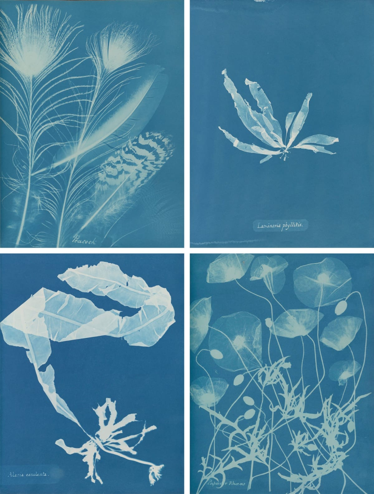 """Anna Atkins's pioneering images, clockwise from top left: """"Peacock"""" (1861), """"Laminaria phyllitis"""" (1844-45), """"Papaver rhoeas"""" (1861), and """"Alaria esculenta"""" (1849-50).via Hans P. Kraus Jr., New York (top left and bottom right); The New York Public Library, Astor, Lenox and Tilden Foundations"""